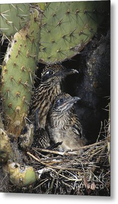 Roadrunners In Nest Metal Print by Anthony Mercieca