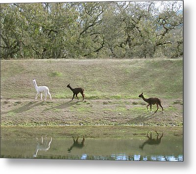 Roaming Alpacas Metal Print