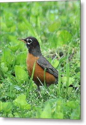 Robin 370 Metal Print