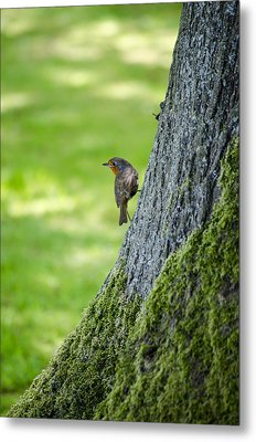 Robin At Rest Metal Print by Spikey Mouse Photography