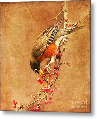 Robin Eating Berries Metal Print