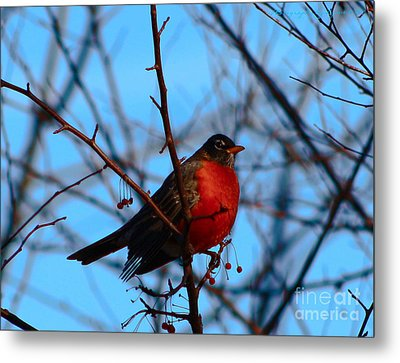 Metal Print featuring the photograph Robin by Gena Weiser