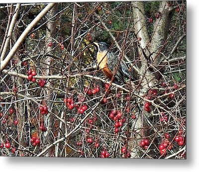 Robin In The Crab Apple Trees Metal Print