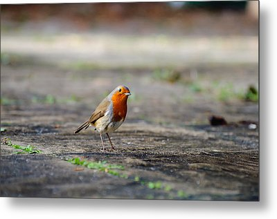 Robin Metal Print by Ivelin Donchev