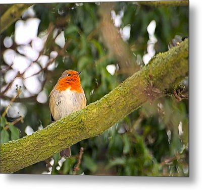 Robin On Branch Metal Print by Dave Woodbridge