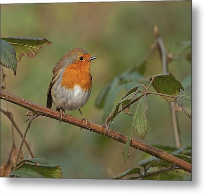 Metal Print featuring the photograph Robin by Paul Scoullar