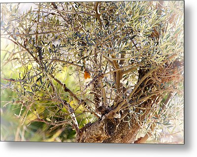 Robin Perched On Olive Tree Metal Print