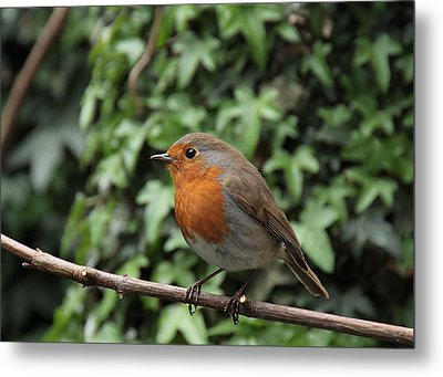 Robin Metal Print by Peter Skelton