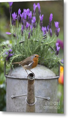 Robin Metal Print by Tim Gainey