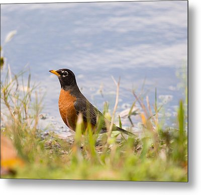 Metal Print featuring the photograph Robin Viewing Surroundings by John M Bailey