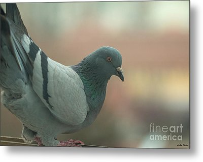 Rock Pigeon Metal Print by Jivko Nakev
