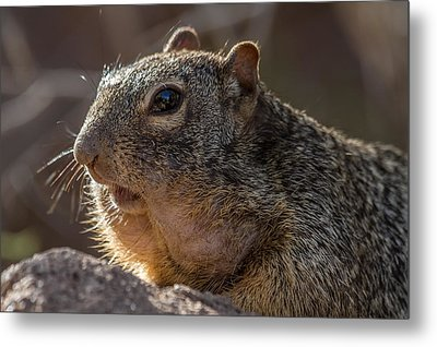 Metal Print featuring the photograph Rock Squirrel by Beverly Parks
