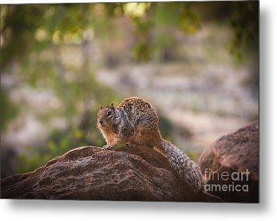 Rock Squirrel In Zion Metal Print by Robert Bales