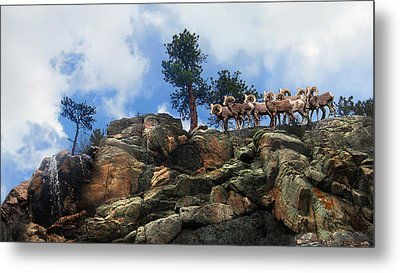 Rocky Mountain Big Horn Herd Metal Print by Ric Soulen