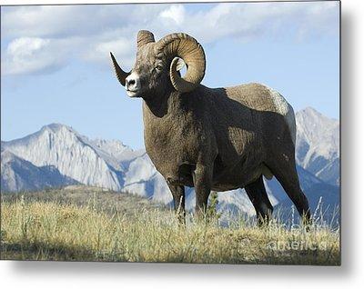 Rocky Mountain Big Horn Sheep Metal Print by Bob Christopher