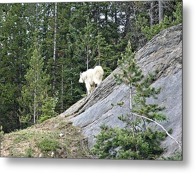 Rocky Mountain Goat Metal Print by Janet Ashworth