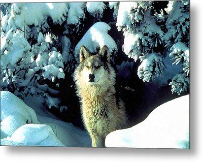 Rocky Mountain Wolf Metal Print by Studio Artist