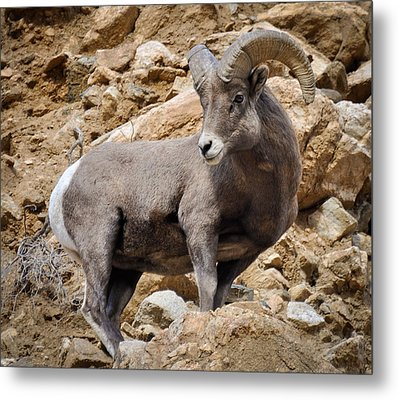 Metal Print featuring the photograph Rocky Ram by Kevin Munro