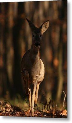 Roe Deer Female Metal Print by Dragomir Felix-bogdan