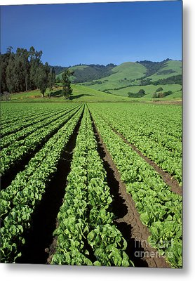 Romaine Lettuce Field Metal Print by Craig Lovell