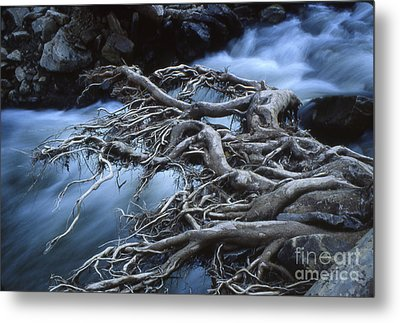 Roots Over Ozark Stream Metal Print by Garry McMichael
