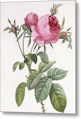 Rosa Centifolia Foliacea Metal Print by Pierre Joseph Redoute