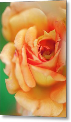 Rosa 'easy Does It' Flower Metal Print by Maria Mosolova