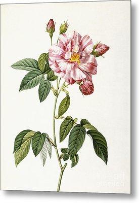 Rosa Gallica Versicolor Metal Print