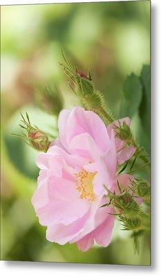 Rosa Pomifera'duplex' Flower Metal Print