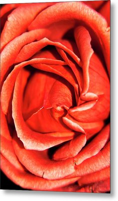 Rosa 'terracotta' Flower Metal Print by Ian Gowland