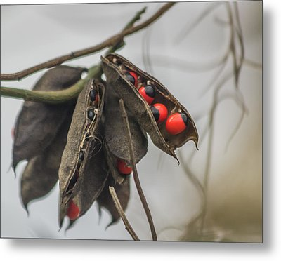 Rosary Pea Metal Print by Jane Luxton