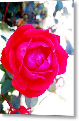 Rose 2 Metal Print by Will Boutin Photos