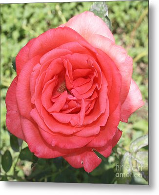Rose At Clark Gardens Metal Print by John Telfer