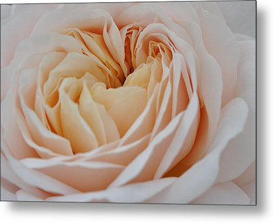 Metal Print featuring the photograph Rose Blush by Sabine Edrissi