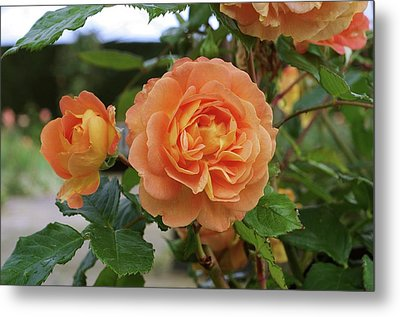 Rose Bowled Over (rosa 'tandolgnil') Metal Print by Neil Joy
