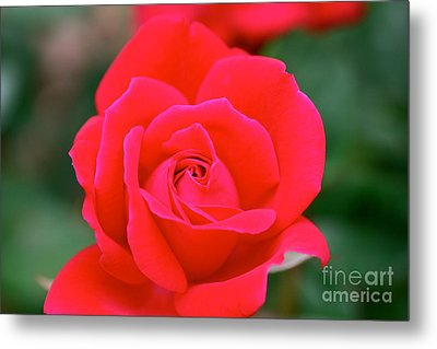 Rose Cascade Metal Print by Cathy Dee Janes
