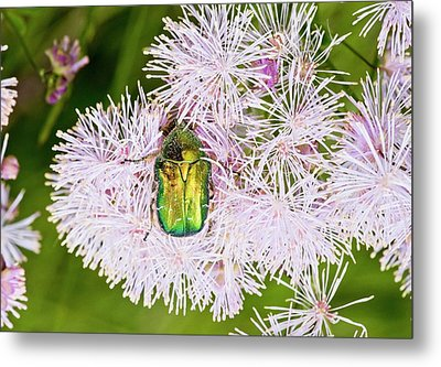 Rose Chafer On Meadow-rue Flowers Metal Print by Bob Gibbons