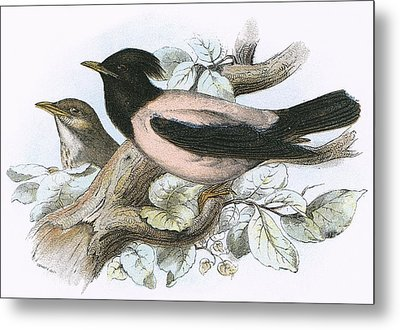 Rose Coloured Starling Metal Print by English School