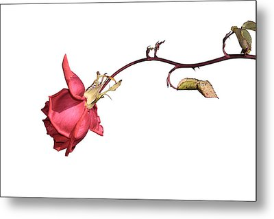 Rose For Isabel Metal Print by Goyo Ambrosio