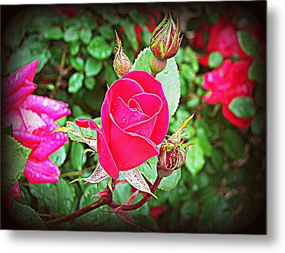 Rose Garden Centerpiece 2 Metal Print by Pamela Hyde Wilson
