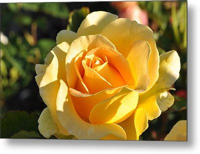 Metal Print featuring the photograph Rose - Honey Bouquet by Sabine Edrissi