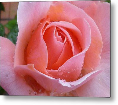 Metal Print featuring the photograph Rose In The Rain by Lingfai Leung