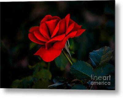 Rose Is A Rose Metal Print by Robert Bales