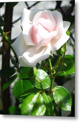 Rose Named Pearl Metal Print by Sonali Gangane