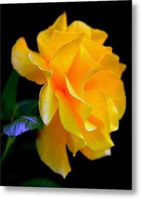 Rose Of Cleopatra Metal Print by Karen Wiles