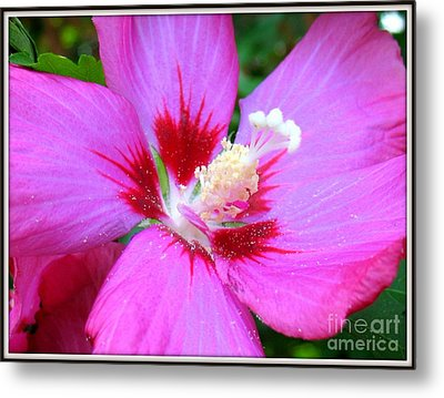 Rose Of Sharon Hibiscus Metal Print by Patti Whitten