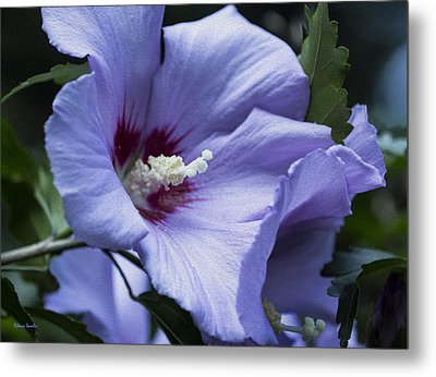 Rose Of Sharon Metal Print by Rebecca Samler