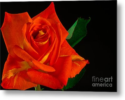 Rose On Fire Metal Print