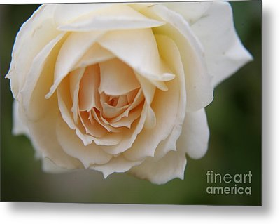 Metal Print featuring the photograph Rose... Pure And Simple  by Lynn England