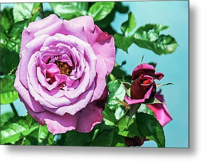 Rose (rosa 'barbra Sterisand') Metal Print by Brian Gadsby
